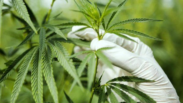 cannabis sales in Canada